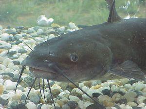 Catfish-300x225